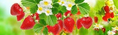 tanaman berbuah
